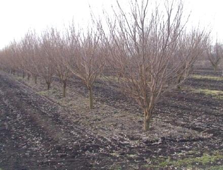 Підживлення і обробка фруктових дерев навесні