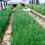 Вирощування зелені в теплиці