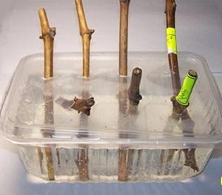 Стимулятори для утворення корінняня