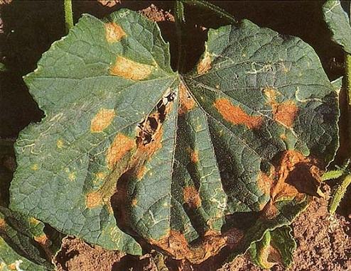 Хвороби гарбузових культур на городі