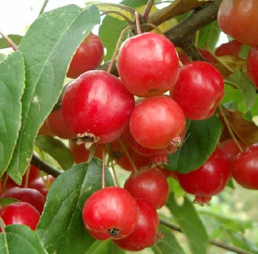 Дизайн саду за допомогою яблунь декоративних