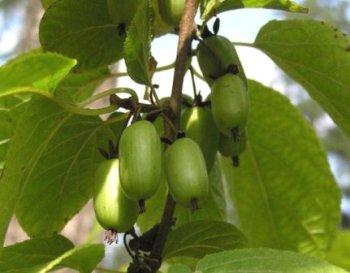 Актинідія коломікта або північний виноград, вирощування.