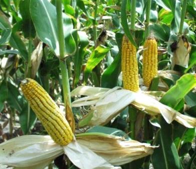 Добрива під кукурудзу