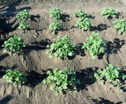 Підгортання картоплі
