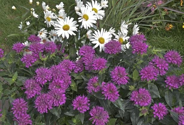 Монарда - багаторічні квіти