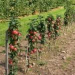 Колоновидні яблуні, догляд, посадка