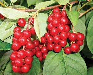 Лікування ягодами черемхи звичайної