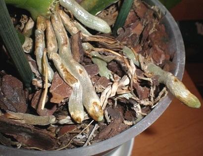 Поширенні захворювання коріння в орхідей