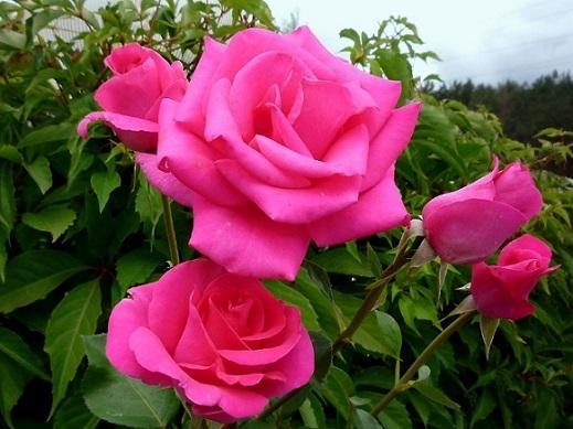 Доглядаємо улюбленні троянди літом.