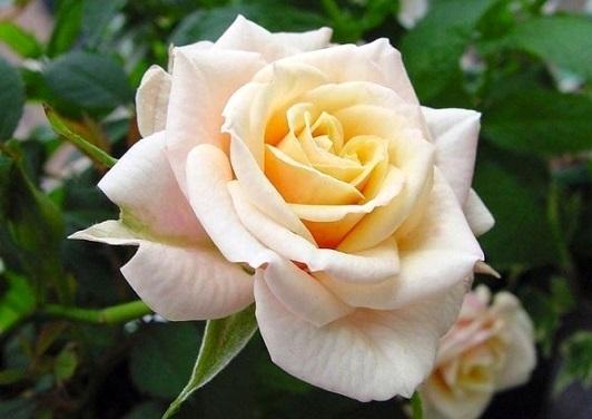 Догляд аємо троянди літом