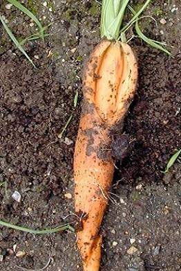 Чому тріскається морква?