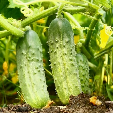 Вирощування пізніх сортів огірків