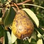 Хвороби груші - лікування