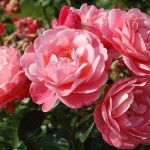 Осіннє підживлення трояндових кущів.