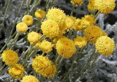 Сантоліна (кипарисова трава, або бавовняна лаванда)