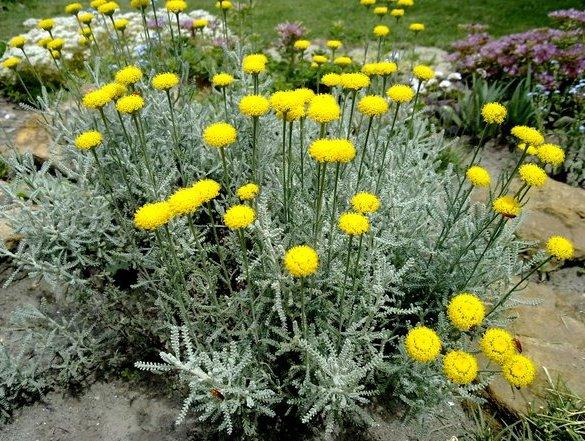 Сантоліна (кипарисова трава, або бавовняна лаванда) — для ландшафтного дизайну саду
