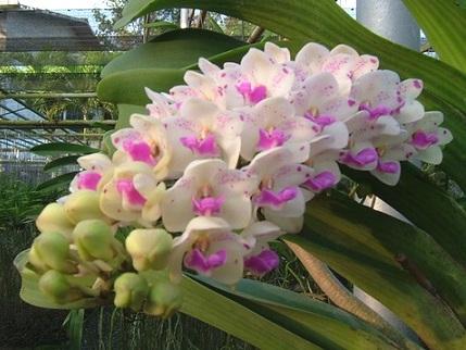 Ринхостиліс притуплений (Rhynchostylis retusa) - орхідея