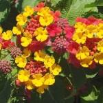 Лантана камара - цвітіння, догляд і розмноження.