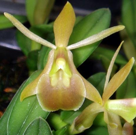 Орхідея епідендрум