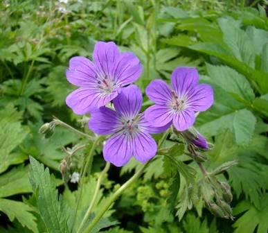 Герань лугова - лікарська рослина