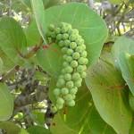 Кокколоба ягодоносна - утримання в домашніх умовах
