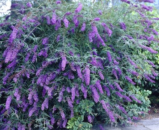 Будлея - вирощування, обрізка, укриття на зиму і розмноження.