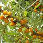 Лікувальні властивості листя обліпихи.