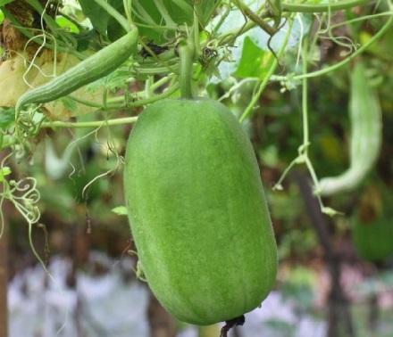 Бенінказа, або восковий гарбуз - вирощування