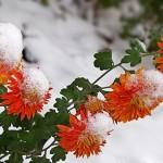 Підготовка хризантем до суворої зими.