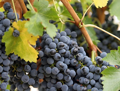 Які добрива необхідно вносити восени під виноградні кущі?