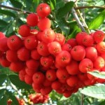 Горобина червона - лікувальні властивості.