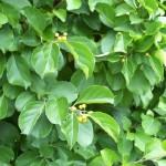Древогубець - умови для сприятливого вирощування