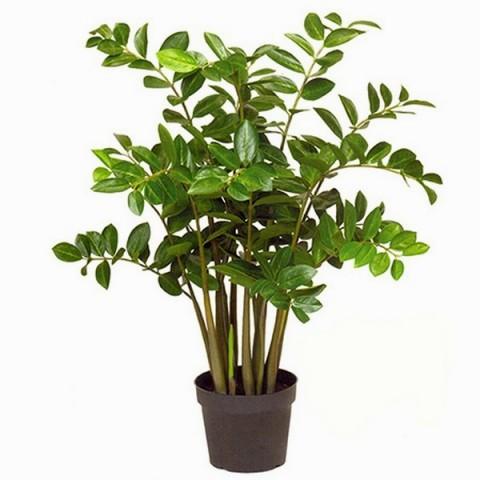 Доларове дерево або заміокулькус - вирощування.