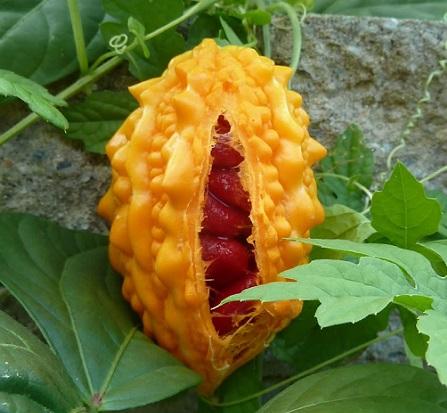 Момордика або індійський огірок