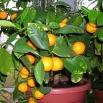 Вирощування апельсинів із кісточки