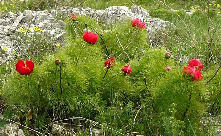 Півонія тонколиста (Paeonia tenuifolia) - Червона книга України.