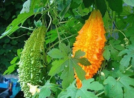 Момордика - насіння.