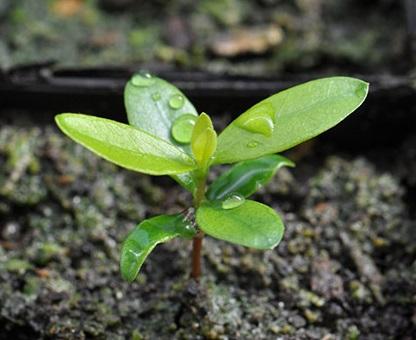 Вирощування фейхоа з насіння.