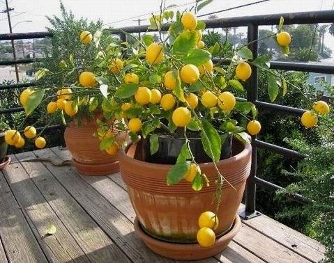 Вирощування лимона в домашніх умовах