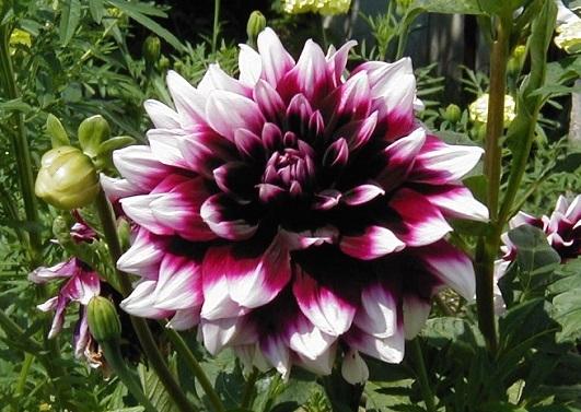 квіти жоржини