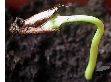 Вирощування хурми в Україні