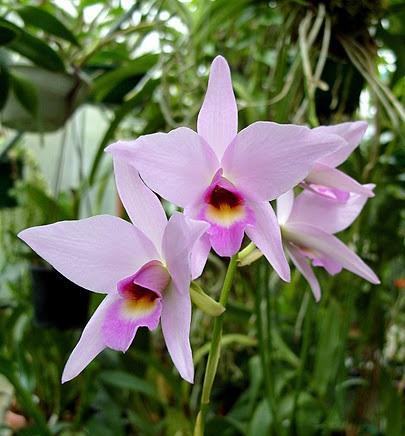 Орхідея Лелія, догляд і пересадка