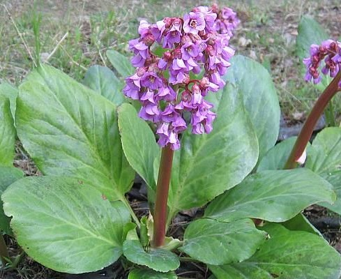 Бадан товстолистий - рослина лікарська.