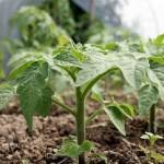 Вирощування розсади помідор - секрети.
