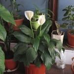Весняне підживлення кімнатних рослин і квітів.