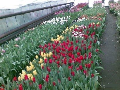 Вирощування квітів у теплиці