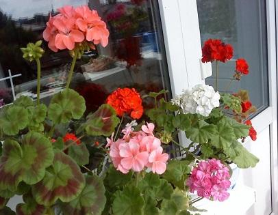 Вирощування герані на балконі