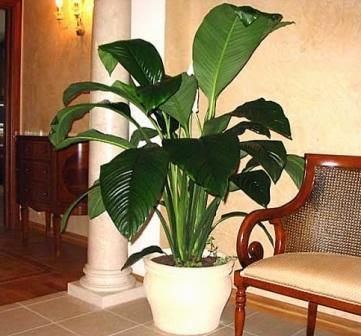 Рослини для темних кімнат із слабким освітленням.