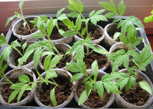 Вирощування розсади помідор.