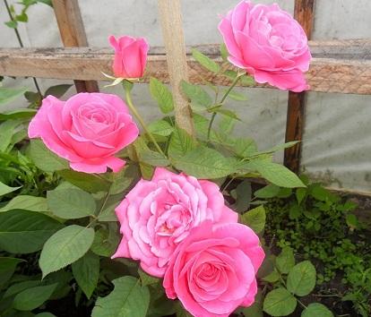 Вирощуємо троянди у теплиці